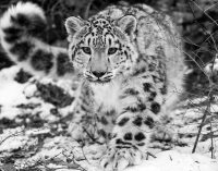 Bishkek Declaration: Protect snow leopard, ensure well-being of mountain people