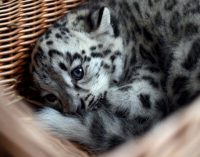 Snow leopard is no longer endangered, but still vulnerable
